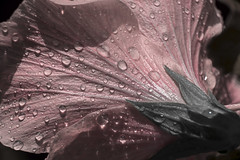 Always Remember That Which Brought You Joy (J Swanstrom (Check out my albums)) Tags: flower dew drop water drip wet rain hibiscus summer petal falsecolor selectivecolor jswanstromphotography nikon d750 spring remember memory joy pink bloom sepal nature pattern texture extensiontubes