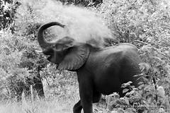 Elephant dust bath (My Planet Experience) Tags: african elephant africanbushelephant loxodontaafricana dust bath bathing bush blackandwhite bw wildlife animal majete reserve malawi endangered species iucn redlist mw southern africa myplanetexperience wwwmyplanetexperiencecom