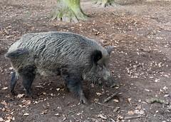 DSC_0488 (hanno_pix) Tags: wildschwein boar nature wildlife tiergarten hannover germany