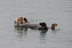 Resting Otter (fascinationwildlife) Tags: animal mammal sea otter seeotter wild wildlife nature natur ocean pacific california usa america cute resting monterey bay