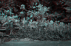 Daintree River, Australia (DDDavid Hazan) Tags: daintreeeriver daintree mangrove river nature australia queensland anaglyph 3d bw blackandwhite bwanaglyph 3danglyph 3dstereophotography redcyan redcyan3d stereophotography stereo3d outdoor