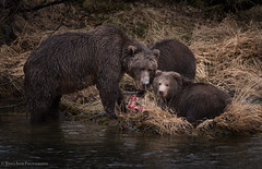 Intensity (rishaisomphotography) Tags: sow family cubs bears grizzly water fish salmon nature naturephotographer wild wildlife wildlifephotography kodiak brownbear alaska carnivore omnivore furry fuzzy predator mammal