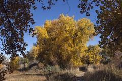 Cottonwood resplendent (Jeff Mitton) Tags: cottonwood fallcolors autumncolors earthnaturelife wondersofnature colorado bouldercountyopenspaceandmountainparks tellerlakes