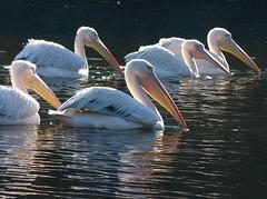 Great white pelican - Roze pelikaan in Avifauna (joeke pieters) Tags: 1300741 panasonicdmcfz150 rozepelikaan pelicanusonocrotalus greatwhitepelican vogel bird avifauna easternwhitepelican rosypelican