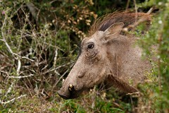 Hairy warthog coming out of the bush (charissadescande) Tags: africa africanus portrait natural safari hog phacochoerus mammal young south animal male national herbivore reserve african mud game white kruger savanna family southafrica addo ecology large teeth close pumba outdoor nature up boar common isolated wild warthog elephant wildlife southern travel grass big pig ugly park fauna tourism wilderness tusk