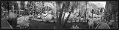 Cementerio Tazacorte, La Palma, Canary Islands, IR 720nm (Dierk Topp) Tags: bw bume ir canaryislands cementerio graveyard infrared islascanarias lapalma monochrom nikond70 sw trees