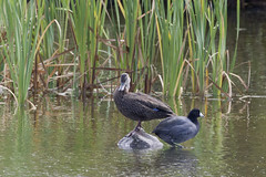 A Coot and  a Duck (Natimages) Tags: therock marsh marshbirds birding ducks duck coot americancoot pentaxk3 da3004