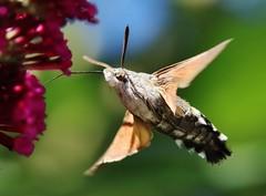 Hummingbird Hawk-moth (Hugo von Schreck) Tags: hugovonschreck outdoor taubenschwnzchen insect insekt moth falter hummingbirdhawkmoth macroglossumstellatarum canoneos5dsr tamron28300mmf3563divcpzda010 givemefive
