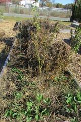 IMG_0899 (hammonton_garden) Tags: 2016 communitygarden fall hammonton southjersey nj gardenstate