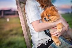 Pomeranian Dog being held (davidliebst) Tags: pomeranian cute pet dog sunset fluffy looking sweet canine animal