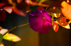 Autumn Glory (bjg_snaps) Tags: autumn fall changing transition morningglory purple