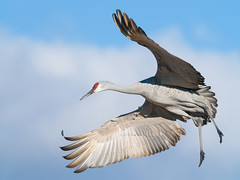 2016-11-22 P9400299 Sandhill in the sky - please view Large (Tara Tanaka Digiscoped Photography) Tags: digscoped bird sandhillcrane bosquedelapachenwr flight bif uncropped sky clouds manualfocus digidapter swarovskistx85 gh4 serene