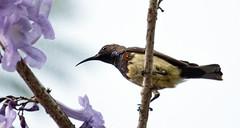 IMG_5373  Olive-backed Sunbird - male (ashahmtl) Tags: olivebackedsunbird bird sunbird nectariniajugularis kuraburi phangngaprovince thailand