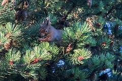 Red Squirrel (mariajames414) Tags: red squirrel wildlife animal