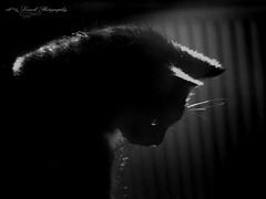 ROSE (laurek.photography) Tags: cat black monochrome chat noir portrait