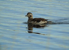 Duck (stuartcroy) Tags: orkney island duck duckling loch harray harrayloch scotland sea sony stenness weather