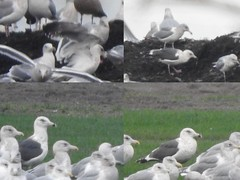 Slaty-backed Gull (VancouverBirder) Tags: slaty backed gull rare vagrant larus schistisagus dark mantled vancouver bc canada bird code 3 aba ebird
