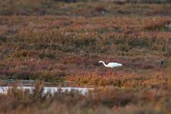 Little egret (jan.stefka) Tags: canoneos7d stagnodimistras sardegna sardinie 2016 sardinia