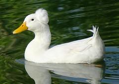 102716-05, White Duck (skw9413) Tags: arizona redmountainpark waterfowl duck