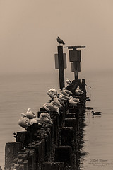 The Gathering (White Balance Imaging Photography) Tags: beachocean birds fauna nature oceanview pierwarf places seaguls structures weather fog