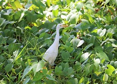 cattle egret in the beach plants (joybidge) Tags: trishcanada naturepatternscanada mauihawaii egret birds