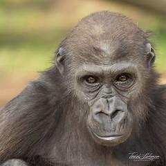Little Joanne (ToddLahman) Tags: joanne imani winston sandiegozoosafaripark safaripark canon7dmkii canon canon100400 westernlowlandgorilla gorilla babygorilla closeup
