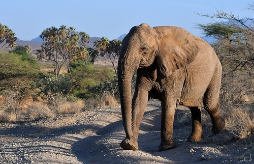 Large trunked Elephant crossing a track in Samburu, Kenya.