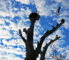 IMG_2382+80 cloudy sky (pinktigger) Tags: stork cigüeña storch cicogne ooievaar ciconiaciconia cicogna cegonha bird nature fagagna feagne friuli italy italia oasideiquadris animal outdoor ibis clouds tree nest