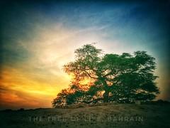 Another morning at the Tree of Life (Harold Laudeus) Tags: metamorphosis treeoflife kingdom bahrain early sunrise morning dew desert soliloquy melancholy