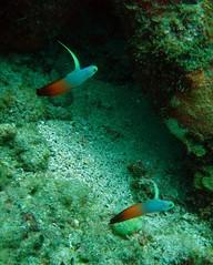 unicorn jaw fish (Carpe Feline) Tags: carpefeline mauritius scubadiving ocean reefs morayeels anemonefish scorpionfish lionfish arrowcrab nudibranch needlefish underwater