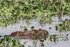 Capybara, Hydrochoerus hydrochaeris. (jwsteffelaar) Tags: hydrochoerushydrochaeris capybara
