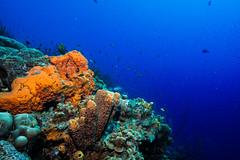 Reef_Bonaire_November 2016 C 2 (R13X) Tags: bonaire bonairediveandadventure underwaterphotography shorediving wideanglephotography reef coral sponge