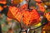 Rhus [Sgonico - 29 October 2016] (Doc. Ing.) Tags: 2016 trieste veneziagiulia friuliveneziagiulia fvg nordest italy carso sgonico prosecco ts fall autumn leaves orange red foliage plant leaf somaco