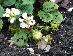 Against all the odds.... however battered.... life goes on.... this morning in my garden... (Sue - happy sparrow) Tags: strawberries strawberry plant earth mud stones growing hope snails portland allotment garden dorset winter