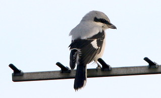 Great Grey Shrike.
