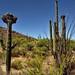 Crested Saguaro Along with a Hillside of Many Other Saguaro Cactus (Saguaro National Park)
