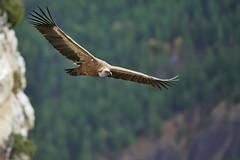 _5D34048 (MaqPhi) Tags: vautour fauve rmuzat drme france gyps fulvus vol falaise montagne canon f28 300mm