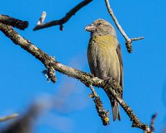 Bec crois des sapins (Jean Louis Bou) Tags: oiseau beccroisdessapins formigurespyrnesorientalesfrance fringillids loxiacurvirostra passriformes redcrossbill bird