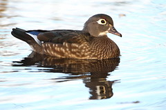 Female wood duck, Aix sponsa (jlcummins - Washington State) Tags: bird yakimasportsmanstatepark yakimacounty washingtonstate nature canon woodduck waterfowl aixsponsa coth alittlebeauty brilliantnature sunrays5