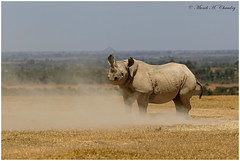 My Horn My Dilemma! (MAC's Wild Pixels) Tags: myhornmydilemma rhinoceros rhino blackrhino hooknosed beast endangeredspecies raresighting dicersbicornis wildafrica wildanimal wildlife africanwildlife unicorn canoneos1dmkiv canonef300mmf28isusm kenya macswildpixels ngc coth5 npc