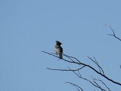 Phainopepla - Arizona by SpeedyJR (SpeedyJR) Tags: 2016janicerodriguez tucsonmountainpark phainopepla birds wildlife nature tucsonarizona arizona speedyjr