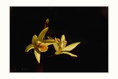 Modern ballet (Krasne oci) Tags: flowerart orchid yellowflower prettyflowers onblack nature macrophotography evabartos garden photoart