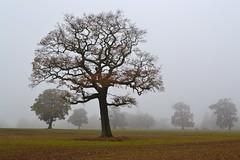 Autumn Mist (AndyorDij) Tags: autumn andrewdejardin trees tree england rutland uk unitedkingdom 2016 misty mist fog foggy fields lyndon lyndonhill lyndonhall lyndonestate