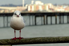 Winner of the Knobbly Knees Competition (Hythe Eye) Tags: hythe hampshire southamptonwater winter blackheadedgull hythepier