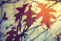 Autumn (nrocher) Tags: automne autumn zoom color nikon d3200 outdoor dehors extrieur exterieur orange trees tree