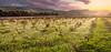 Vineyard in Mgarr - Malta (kevinbrincat) Tags: mgarr zebbiegh fields sunset malta kevin brincat pentaxian pentax
