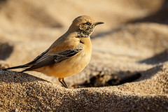 Desert Wheatear 3 (Explored 6 December 2016) (ABPhotosUK) Tags: animals beach birds canon chatsandthrushes coast desertwheatear devon ef100400mmisii eos7dmarkii migrants nocrop oenanthedeserti rare seasons thurlestone turdidae visitor wildlife winter