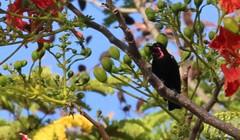 Sunbird Unknown purple throated (6) (mjohns17e) Tags: mafiaisland tanzania sunbird choleisland