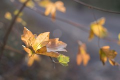 simply leaves (Emma Varley) Tags: leaves backlit warm glow yellow orange shallowdof dreamy bokeh tree dancing