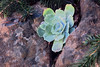 J20161202-0013—Dudleya pulverulenta—RPBG (John Rusk) Tags: ebparksok taxonomy:kingdom=plantae plantae taxonomy:clade=tracheophyta tracheophyta taxonomy:phylum=magnoliophyta magnoliophyta taxonomy:class=magnoliopsida magnoliopsida taxonomy:order=rosales rosales taxonomy:family=crassulaceae crassulaceae taxonomy:genus=dudleya dudleya taxonomy:species=pulverulenta taxonomy:binomial=dudleyapulverulenta dudleyapulverulenta conchita chalkdudleya taxonomy:common=conchita taxonomy:common=chalkdudleya